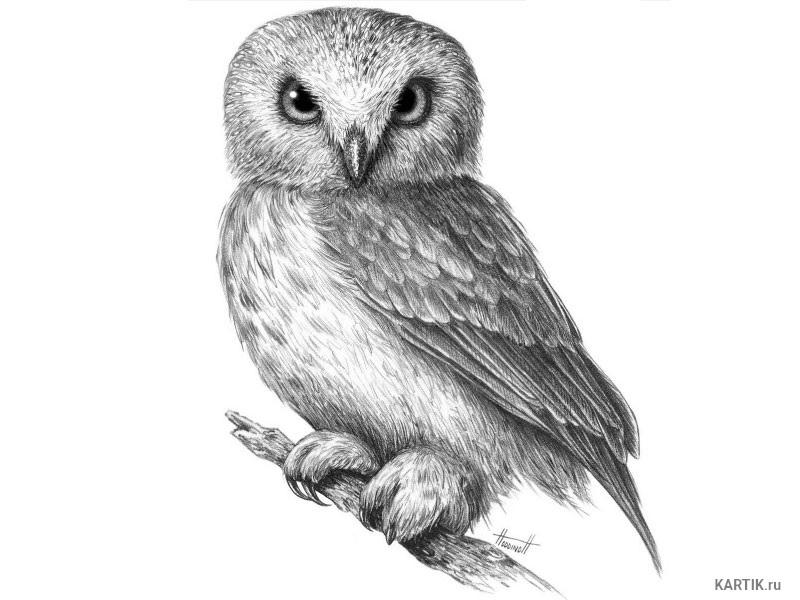 Лучшие картинки для срисовки сова (16)