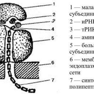 Особенности строения рибосомы, функции