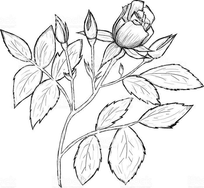 Рисунки цветов для срисовки цветные (19)