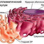 Что такое эндоплазматический ретикулум?