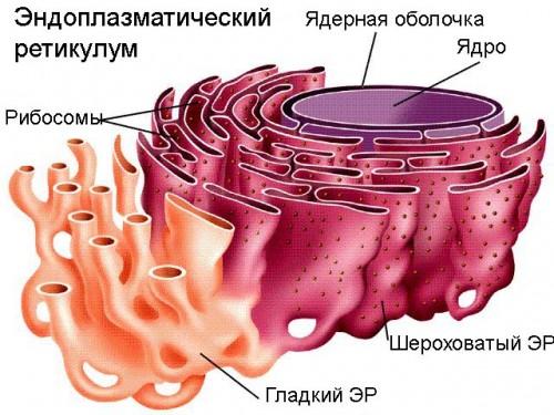Что такое эндоплазматический ретикулум