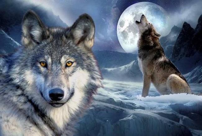 Волк красивые картинки (10)