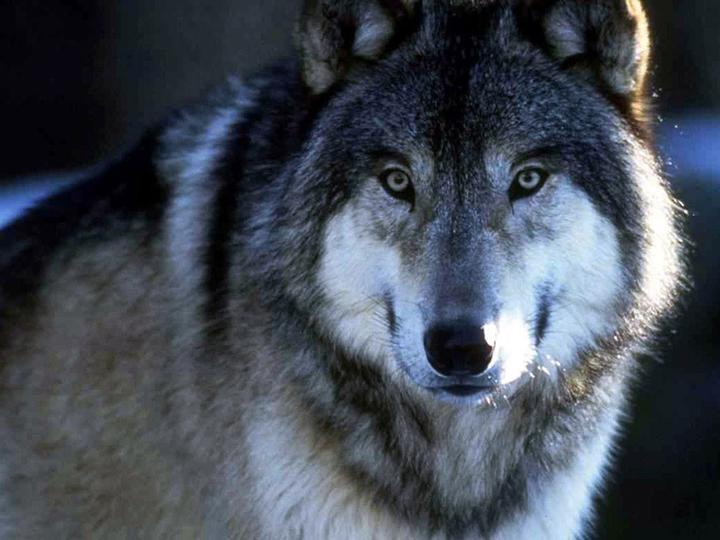 Волк красивые картинки (11)