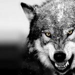 Волк красивые картинки