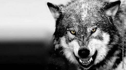 Волк красивые картинки (12)