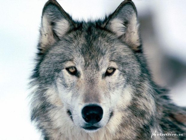 Волк красивые картинки (13)