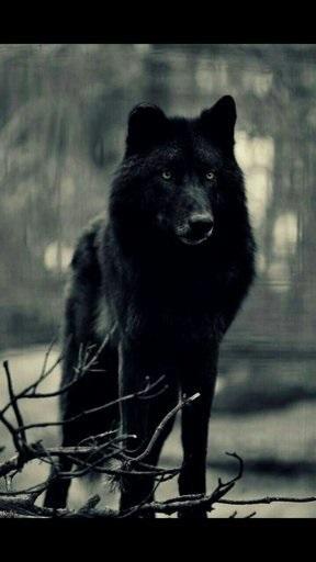 Волк красивые картинки (22)