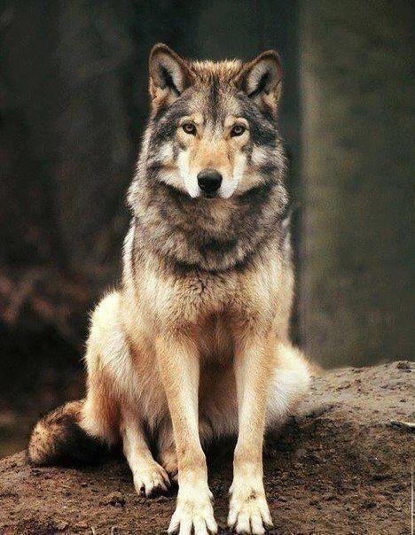 Волк красивые картинки (6)