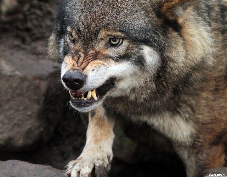 Картинки волк на аву (15)