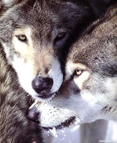 Картинки волк на аву (18)