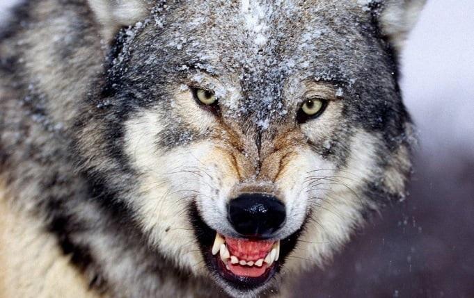 Картинки волк на аву (20)