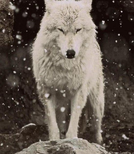 Картинки волк на аву (22)