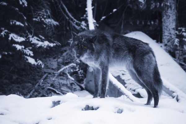 Картинки волк на аву (6)