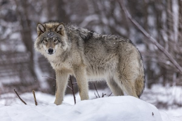 Картинки волк на аву (9)
