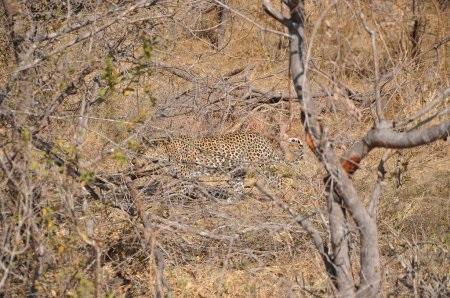 Леопард красивые картинки (10)