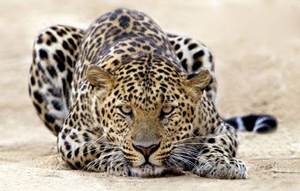 Леопард красивые картинки (12)