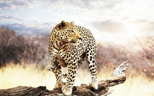 Леопард красивые картинки (13)