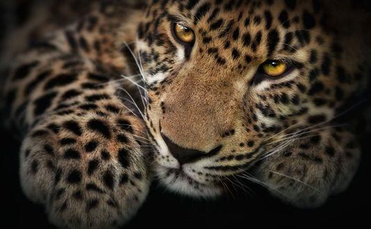 Леопард красивые картинки (14)