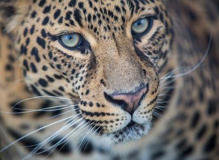 Леопард красивые картинки (15)