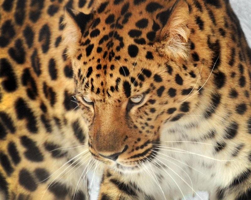 Леопард красивые картинки (16)