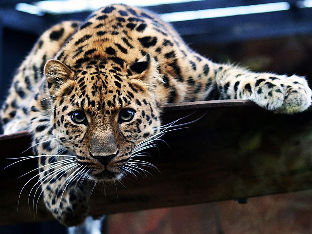 Леопард красивые картинки (17)