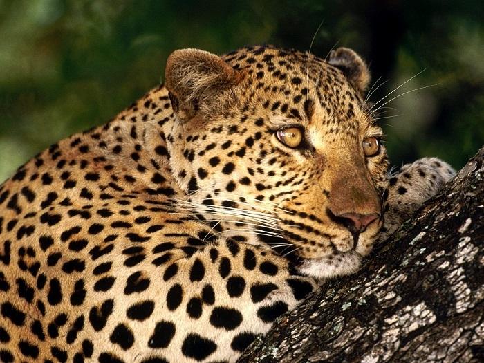 Леопард красивые картинки (19)