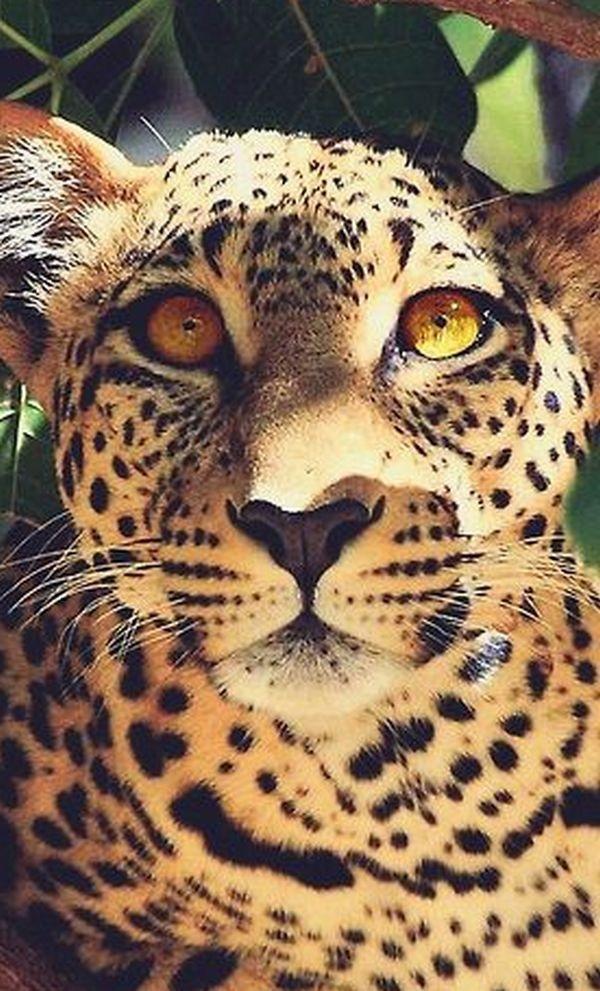 Леопард красивые картинки (20)