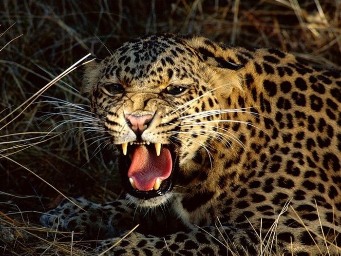 Леопард красивые картинки (21)