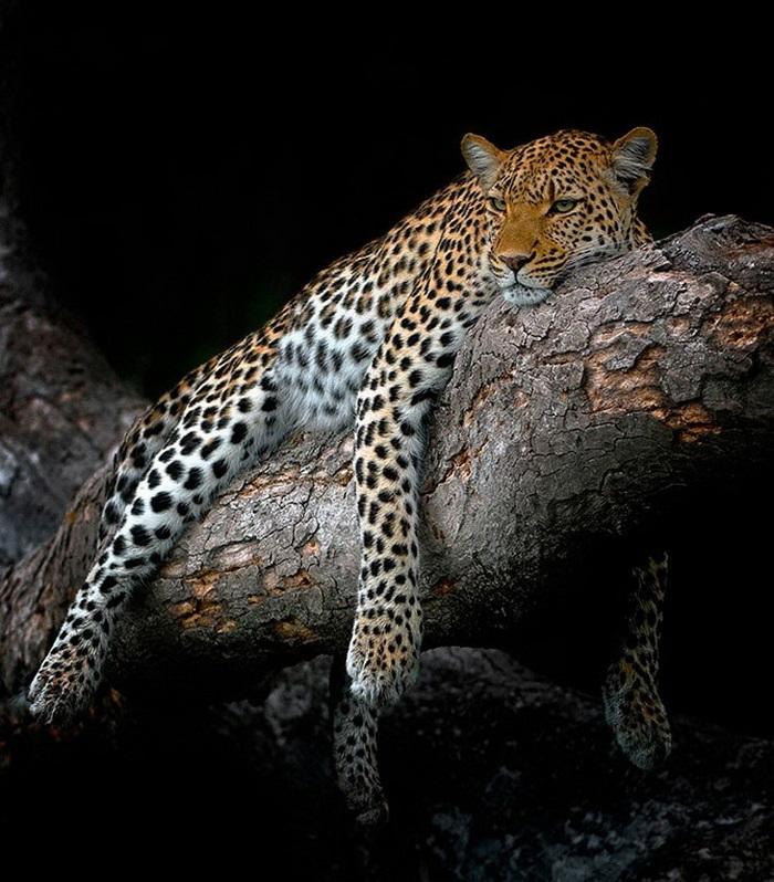 Леопард красивые картинки (22)
