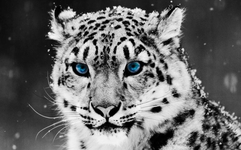 Леопард красивые картинки (23)
