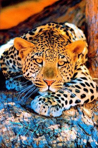 Леопард красивые картинки (4)