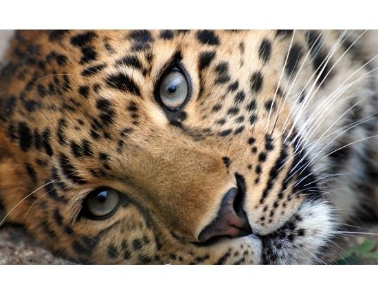 Леопард красивые картинки (5)