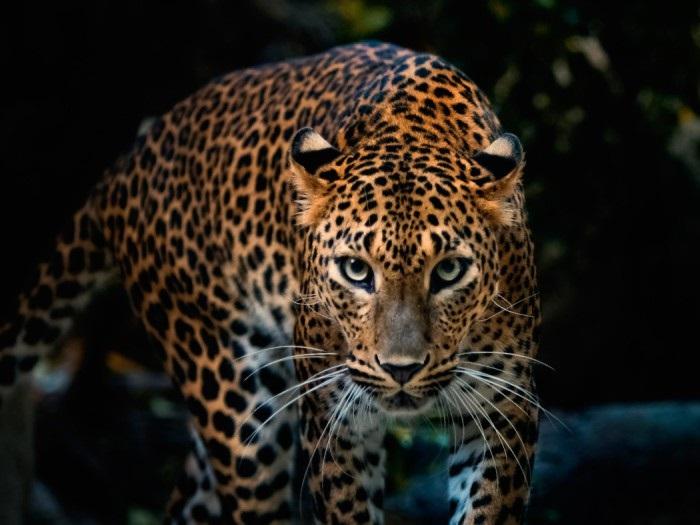Леопард красивые картинки (6)