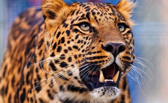 Леопард красивые картинки (7)
