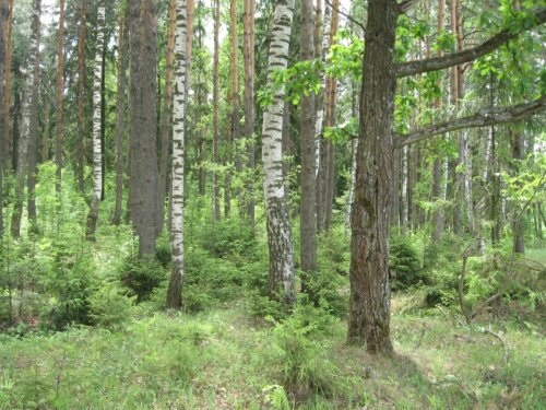 Фотографии природы еловый лес осенью (8)