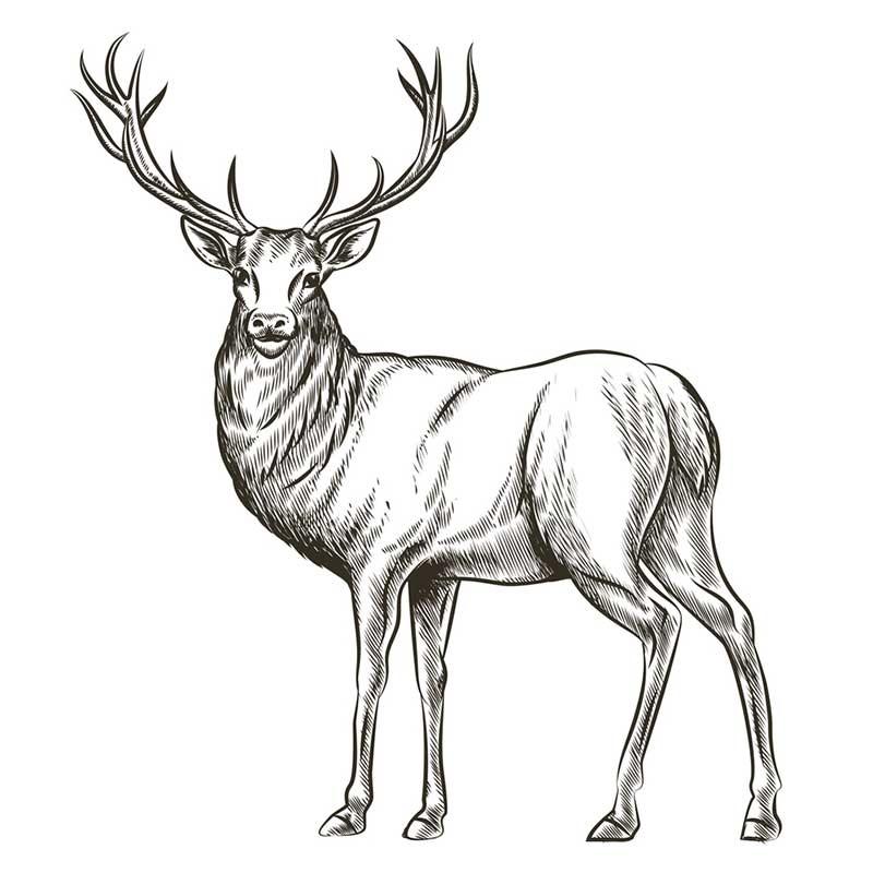 Картинки олень для срисовки (24)