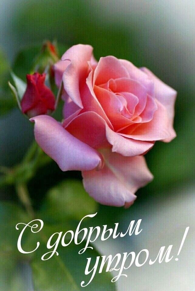 Доброе утро с розами красивые открытки для любимых (11)