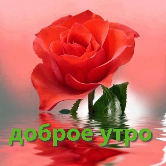 Доброе утро с розами красивые открытки для любимых (22)