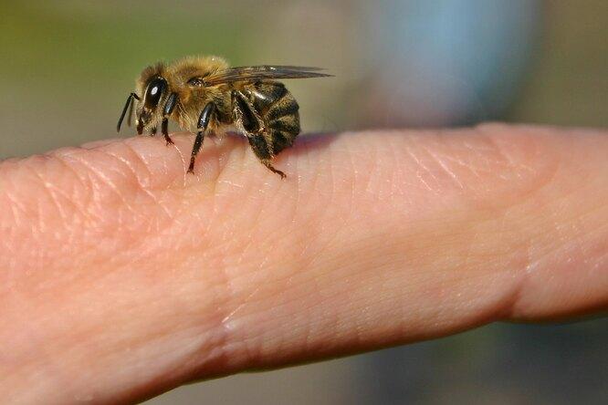Почему пчелы умирают, если ужалят 2