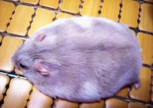 Самый толстый хомяк в мире фото подборочка (4)