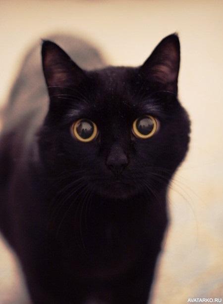 Классные картинки на аву черная кошка (27)