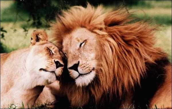 Львица целует льва фото красивые (10)