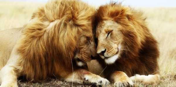 Львица целует льва фото красивые (14)