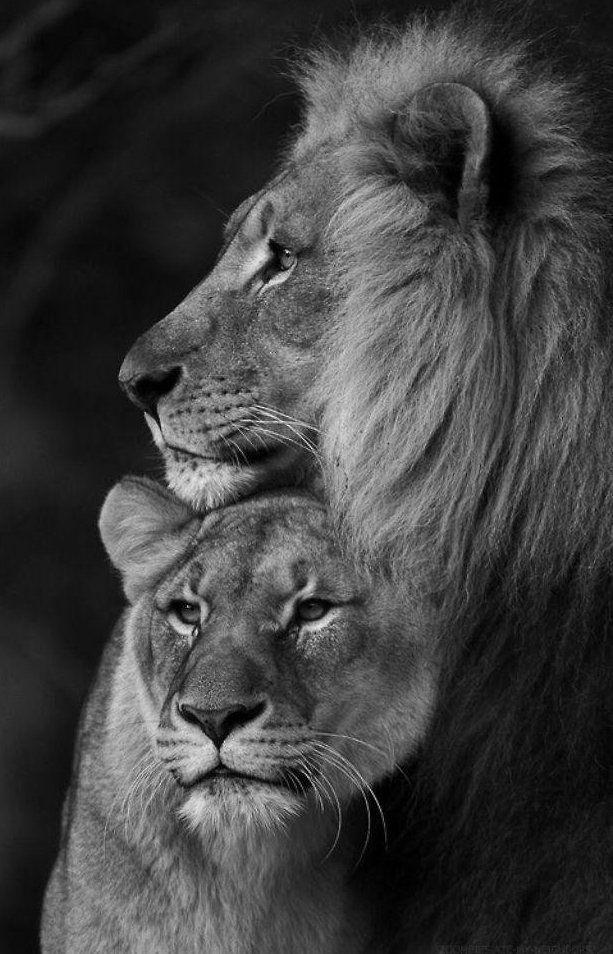 Львица целует льва фото красивые (15)