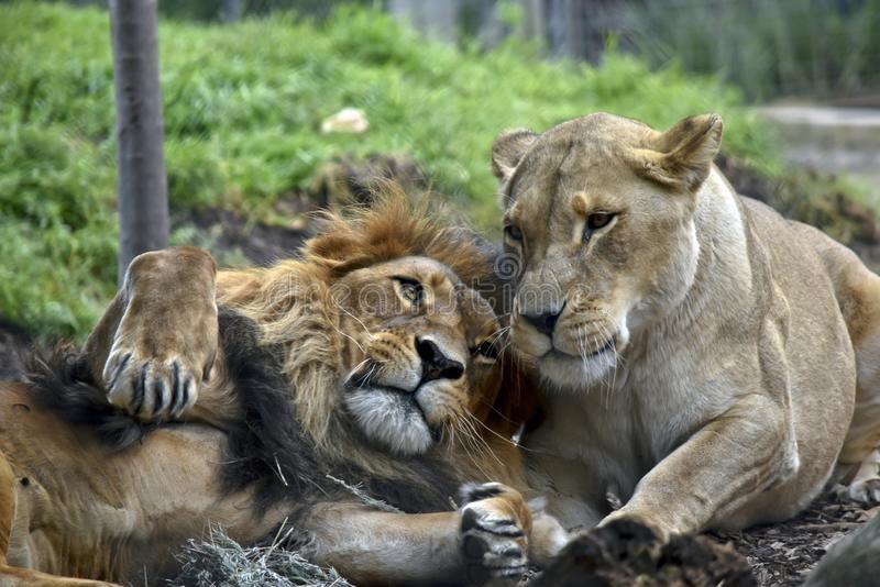 Львица целует льва фото красивые (18)