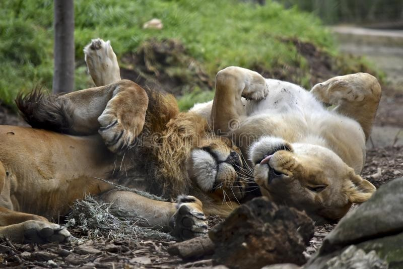Львица целует льва фото красивые (19)
