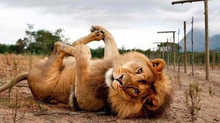 Львица целует льва фото красивые (2)