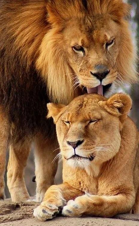 Львица целует льва фото красивые (20)