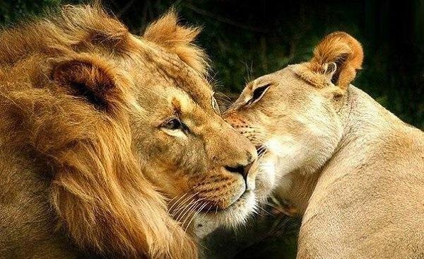 Львица целует льва фото красивые (21)