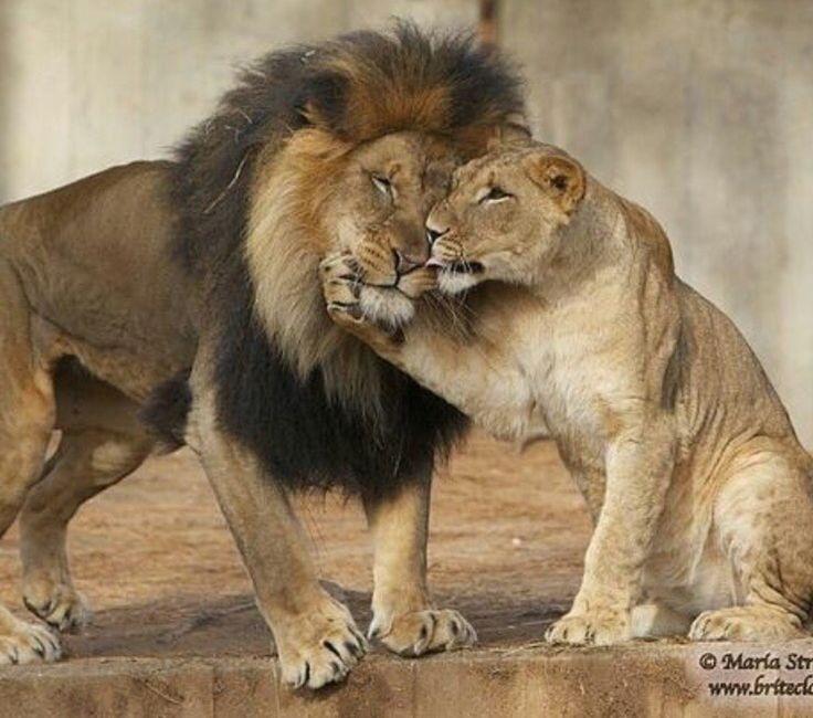 Львица целует льва фото красивые (22)